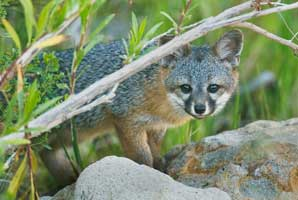 Island species outfoxes genetic fate