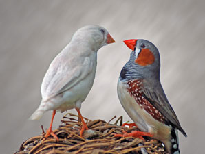 How avian Romeos learn to charm chicks