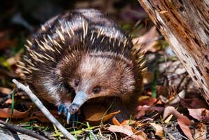 When faced with a raging fire, echidnas take it easy