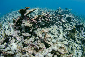 Coral reef faces a tenuous future