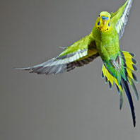 How budgies keep their cool