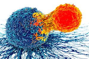 Probing the properties of cancer-fighting cells