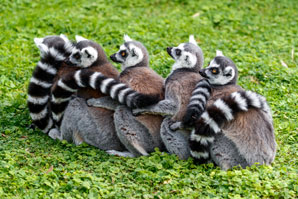 Quick-learning lemurs get all the likes