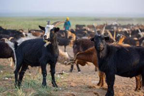 Early farmers picked goats for their pelts