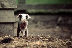 Microbial medicine prevents diarrhoea in young swine
