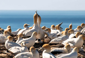 Gannets both consistent and flexible in their interactions